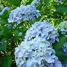 Hydrangeas Flowers art prints Garden Botanical by BasleeArtPrints
