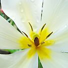 White Yellow Tulip Flower art prints Floral Baslee Troutman by BasleeArtPrints