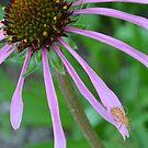 Orange bug on Purple Coneflower by Paula Betz