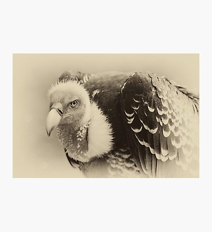 Rueppell's Vulture: After a shower Photographic Print