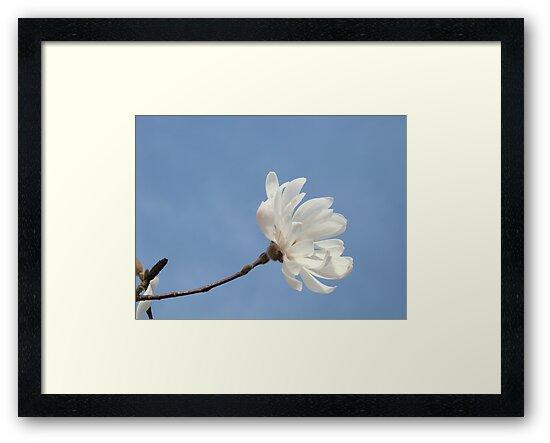 Floral art White Magnolia Tree Flower prints Blue Sky by BasleeArtPrints