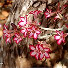WINTER JOY IN SHINGWEDZI - The Impala lily by Magriet Meintjes