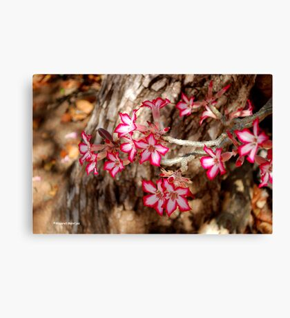 WINTER JOY IN SHINGWEDZI - The Impala lily Canvas Print