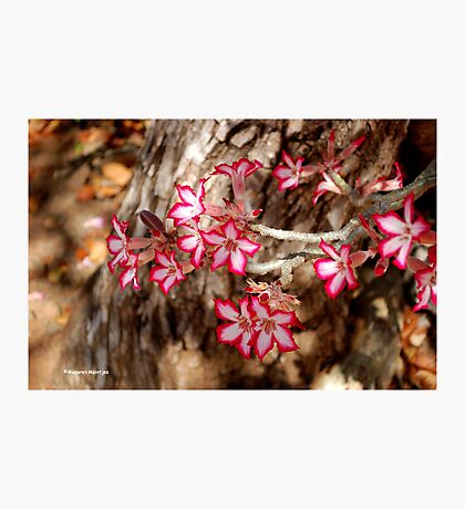 WINTER JOY IN SHINGWEDZI - The Impala lily Photographic Print