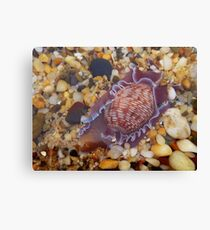 'Sea Snail' Canvas Print