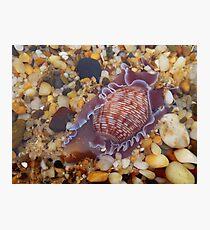 'Sea Snail' Photographic Print