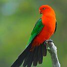 Male King Parrot. Brisbane, Queensland, Australia. (9) by Ralph de Zilva
