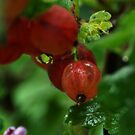 Gooseberry (from my summer house) by Antanas