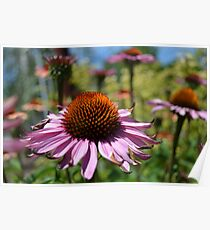 Echinacea Floral  Poster