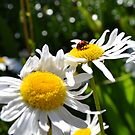 Ladybug on Daisies by jewelsofawe