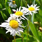 Daisy Flowers by jewelsofawe