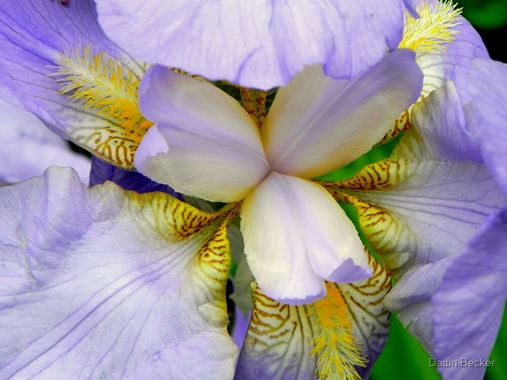 A beautiful Iris © by Dawn Becker