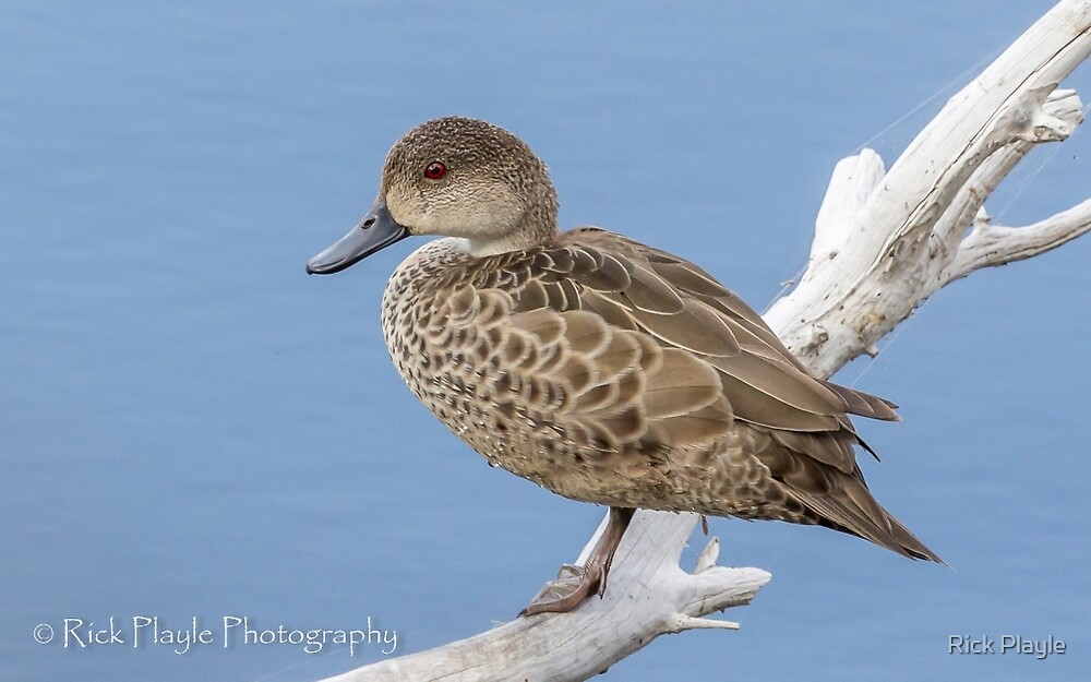 Resting Ducky by Rick Playle