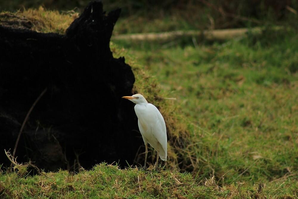 Cattle Egret in a Meadow by rhamm