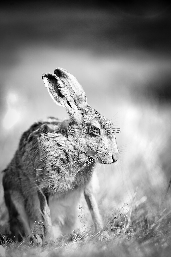 Moon Hare by Peter Denness