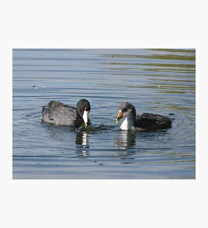 American Coot with Juvenile  Photographic Print