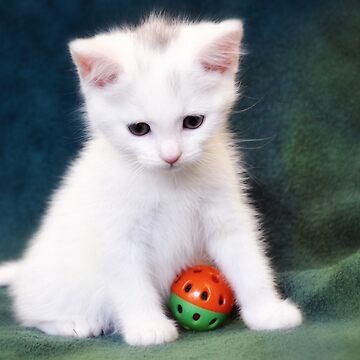 White  Kitten  by Lucindawind