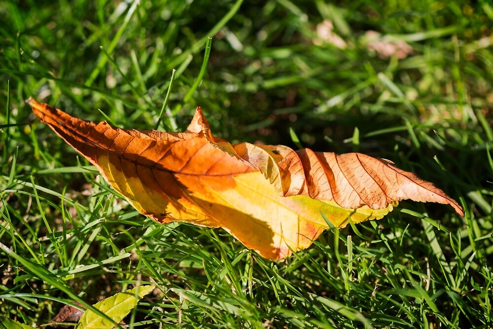 Fallen Leaf In Grass by jboffinphoto