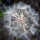 Dandelion Seeds by Jennifer Hulbert-Hortman