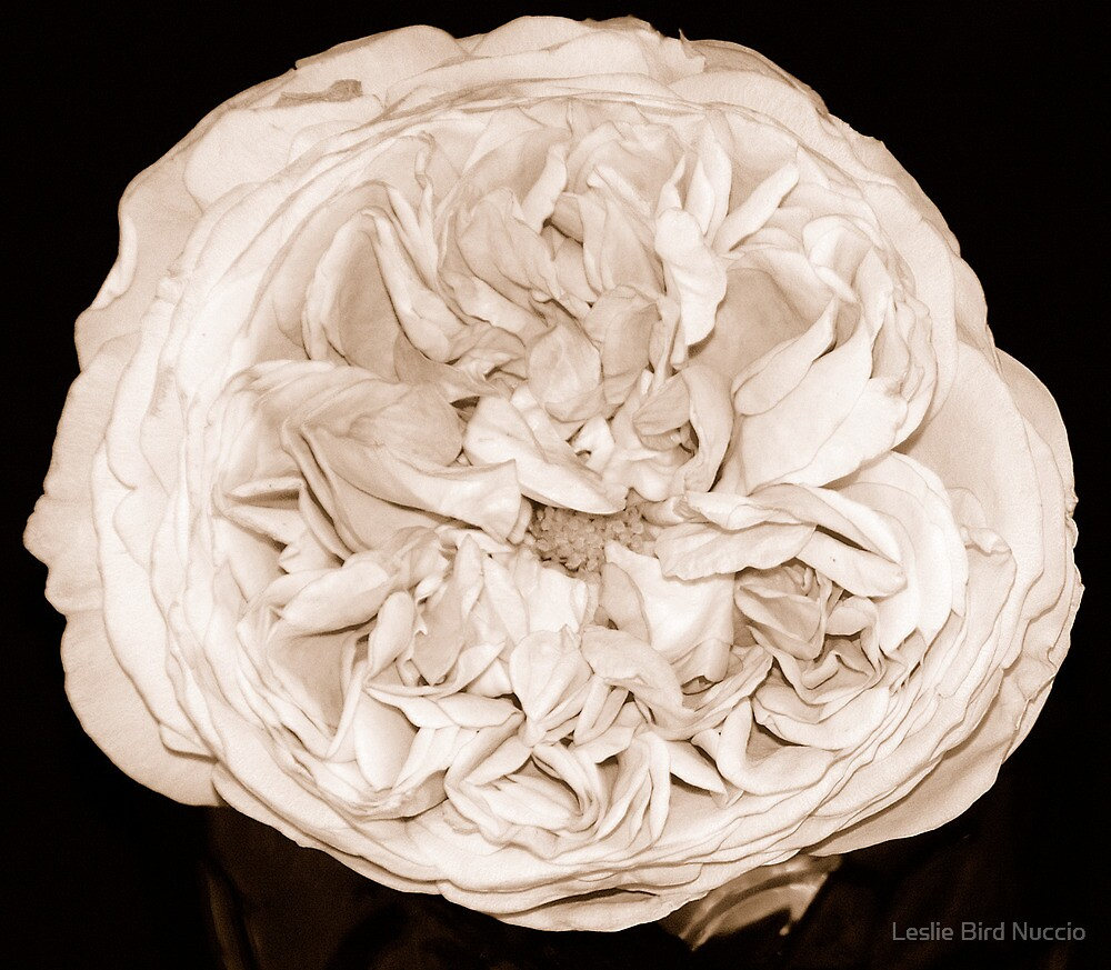 English rose-sepia by Leslie Bird Nuccio