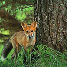 Eye to Eye with a Red Fox by Susan Blevins