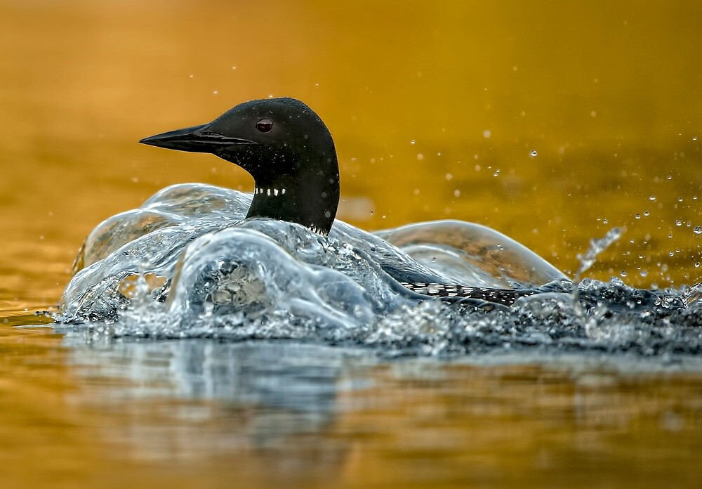 Bubbling Loon by Bill Maynard
