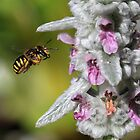 Wool Carder Approaches The Lambs Ear / Wool Carder Bee by Gary Fairhead
