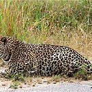 AMAZING BLENDING - THE LEOPARD - Panthera pardus by Magriet Meintjes