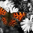 Comma Butterfly by Astrid Ewing Photography