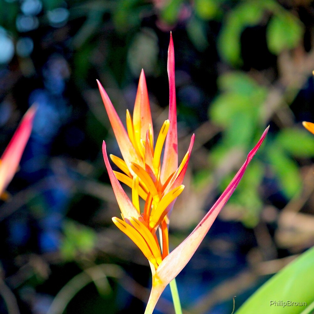 Heliconia by PhilipBrown