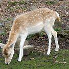 Deer in Knowle Park, Kent by David Workman