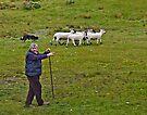 Sheep herding in Couty Kerry Ireland by Yukondick