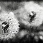 black and white dandelions by Francesco Malpensi