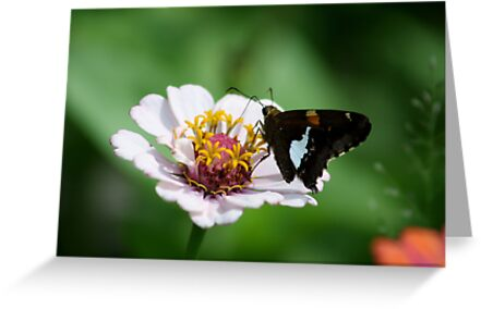 BUTTERFLY ON ZINNIA by Van Coleman