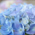 Blue Hydrangea by Beth Mason