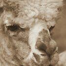 Alpaca by Karen K Smith