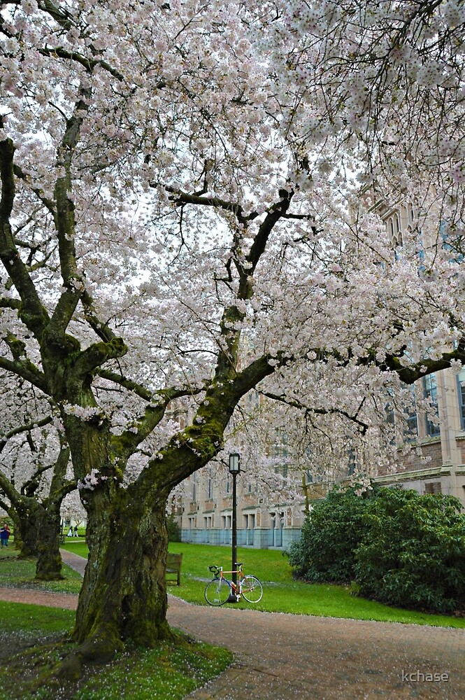 Campus Cherry Blossoms by kchase
