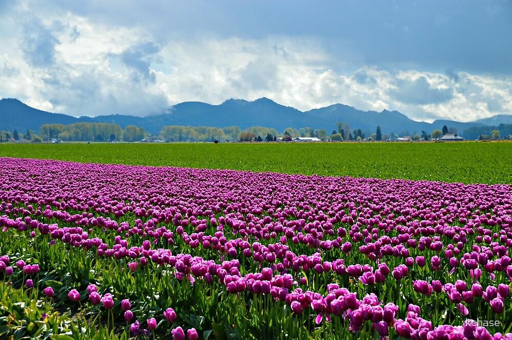 Skagit Tulip Fields by kchase