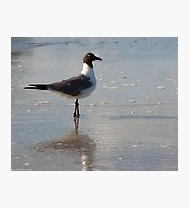 Laughing Gull Photographic Print