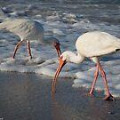 White Ibis by LauraBroussard