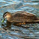 Pacific Black Duck by Odille Esmonde-Morgan