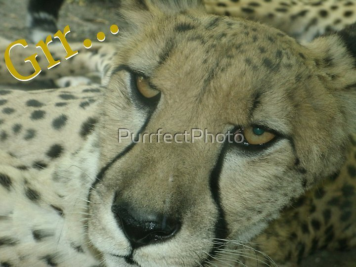 Grr Cheetah  by PurrfectPhoto