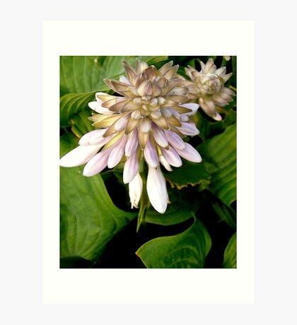 Hosta Flowers Art Print