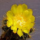 Cactus Bloom. by johnrf