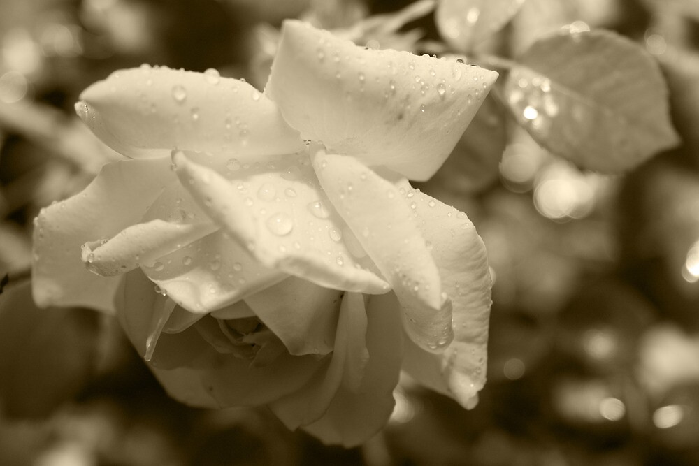 White Rose Sepia by TerryPatrick