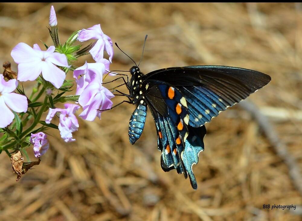 Spicebush swallowtail butterfly. by Barbara Bates