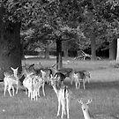 Richmond Park Deer by Sarah Vernon
