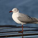Grey-headed Gull 1 by Adéle Van Schalkwyk