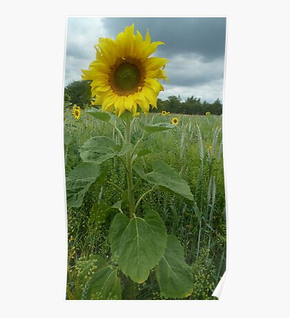 Sunflower  (disambiguation) Poster