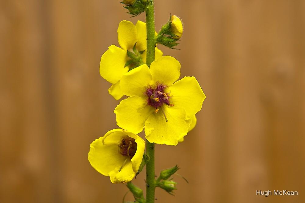 Dark Mullein flowers, Yellow by Hugh McKean